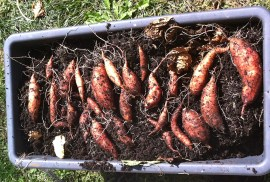 Not bad for a first try! I learned that sweet potatoes grow downward (they need depth), one plant will produce about 4 - 10 tubers (plant one slip to a deep and wide pot), the more sun, water, and space a plant has, the bigger the tubers will grow. Can't wait for next spring!
