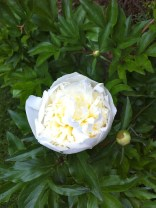 Peony in bloom - gorgeous!!!!!