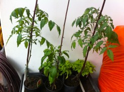 The overnighters: Oma's tomato and chili plants are recuperating.