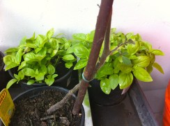 New branches/leaves to replace the ones I trimmed. Basil's doing well in its shaded spot.