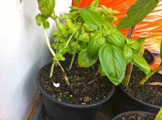 Oma's basil is also doing ok; the small green spots in the earth are new seedlings I sprouted.