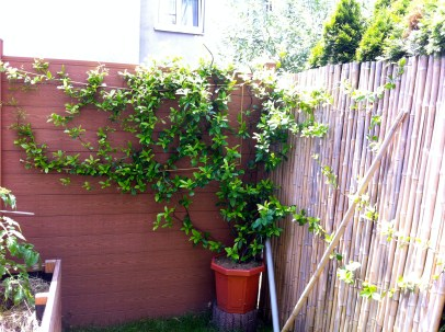 I'm so excited about the star jasmine. Not only is it growing well....