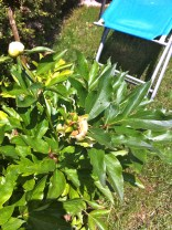 The first peony bloom produced seed pods.