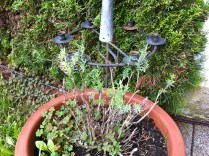 Look who made it - my English lavender that I nearly killed by pruning too deeply.
