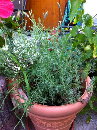 Spanish lavender getting ready to put out blooms again.