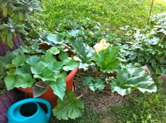 Sweet potato (never a surety) and rhubarb (gotta find a good compote recipe for next year).