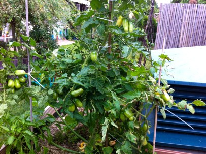 The San Marzano sauce tomatoes are producing so well that the plant split in two places due to the weight.