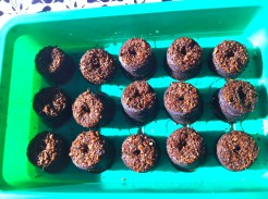 The pellets after soaking in water for about 10 minutes. The light crumbly nature allows the young seedlings to easily send out roots and shoots. When ready to transplant, the entire pellet will be planted to avoid disturbing the roots.