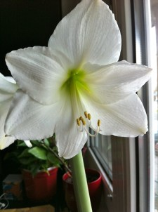 A new addition: Amaryllis - produces the biggest, most breathtaking blooms.