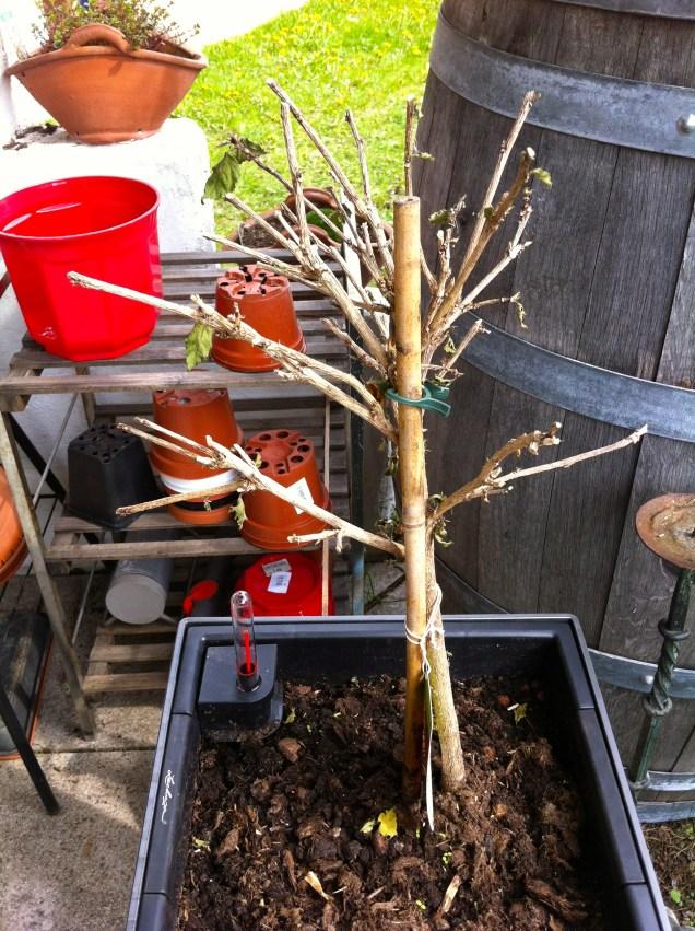 Hibiscus...will it make it?