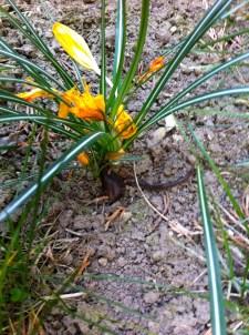 Crocus adding a little color to the garden
