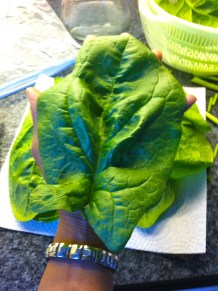 Spinach harvest is ridic this year!