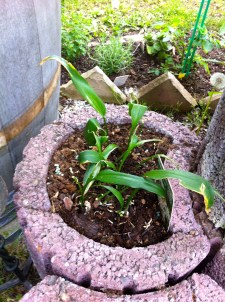 Wild garlic will not flower this year because those pesky, slimy snails ate them! :(