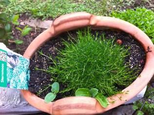Irish moss, flowers white.
