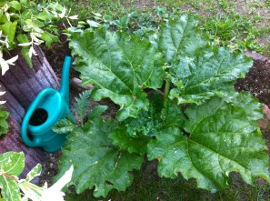 The rhubarb is turning into a monster; blocking all the sun from the artichoke. Something must be done.