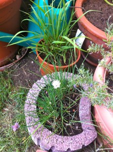 Chives are still blooming and the lemongrass seems pretty content.