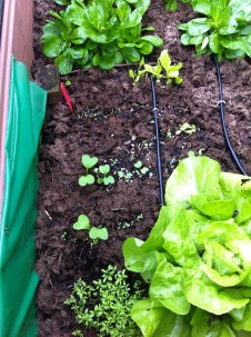 My newest experiment - micro-greens. Once the summer really gets here, the lettuces & spinach will bolt, radishes become corky. By harvesting them young (after the first true leaves appear), we can keep on enjoying them.