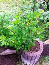 Gooseberries galore!