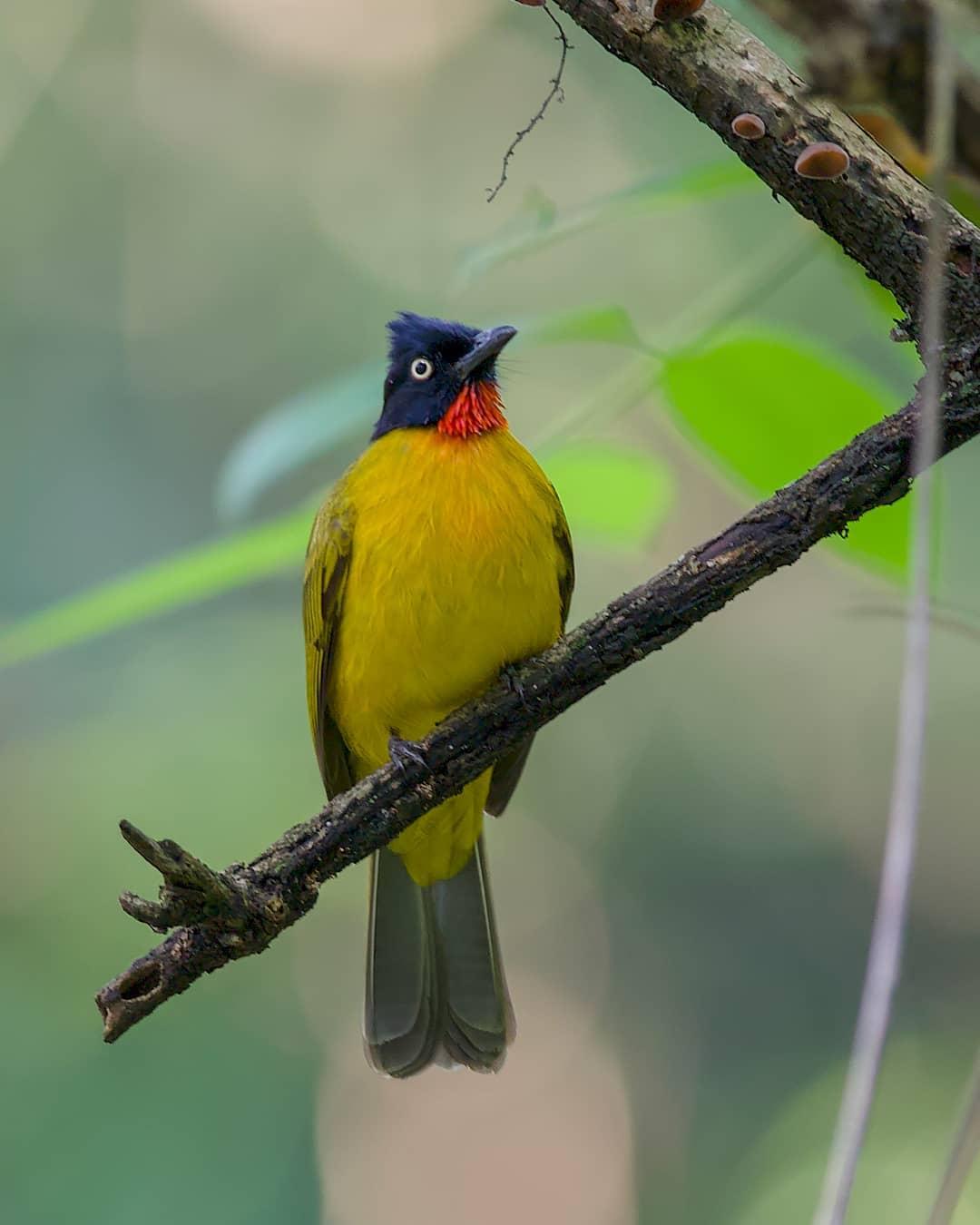 Suara Kutilang Emas : suara, kutilang, Download, Suara, Burung, Kutilang, Rajin, Ngoceh, Gacor, Abahtani