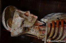 Japanese Anatomical Model