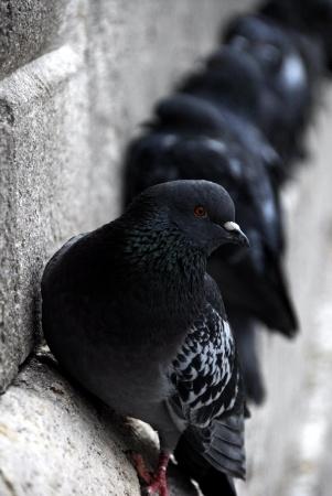 Comment Faire Fuir Les Pigeons : comment, faire, pigeons, Éloigner, Pigeon, Biset, Villes,, Comment, Faire