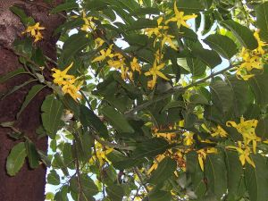 Author: B. Navez, Wikipedia Commons Ylang-ylang plant, a native plant from the Phillipines