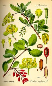 361px-Illustration_Berberis_vulgaris0
