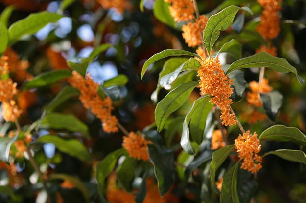 800px-Osmanthus_fragrans_(orange_flowers)