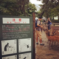 The main attraction in Nara is the out-of-control population of deer, seen here attacking a tourist