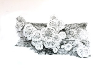 Split Gill Mushrooms, Ink and Nib Pen, 2016