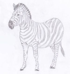zebra drawing draw pencil sketch realistic animal abbigli