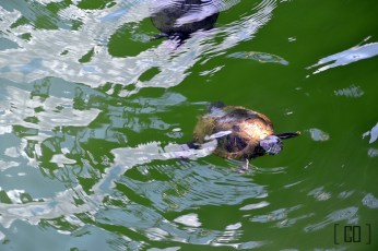 Red-eared slider at the River Safari | 05.25.14
