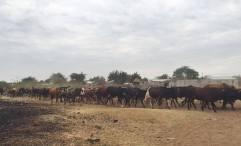 Cattle crossing near my house