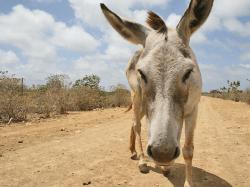 Freilaufende Esel