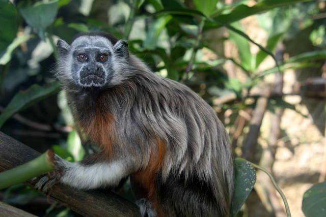 Primates en nuestras fincas tit gris  ABC del Finkero