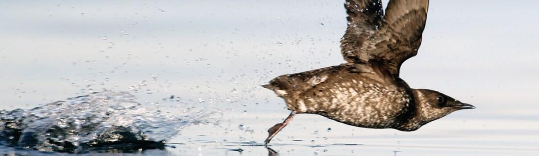 El desarrollo de los recursos naturales ha provocado la pérdida del hábitat de muchas aves, incluido el mérrido jaspeado.  Foto de Mike Danzenbaker