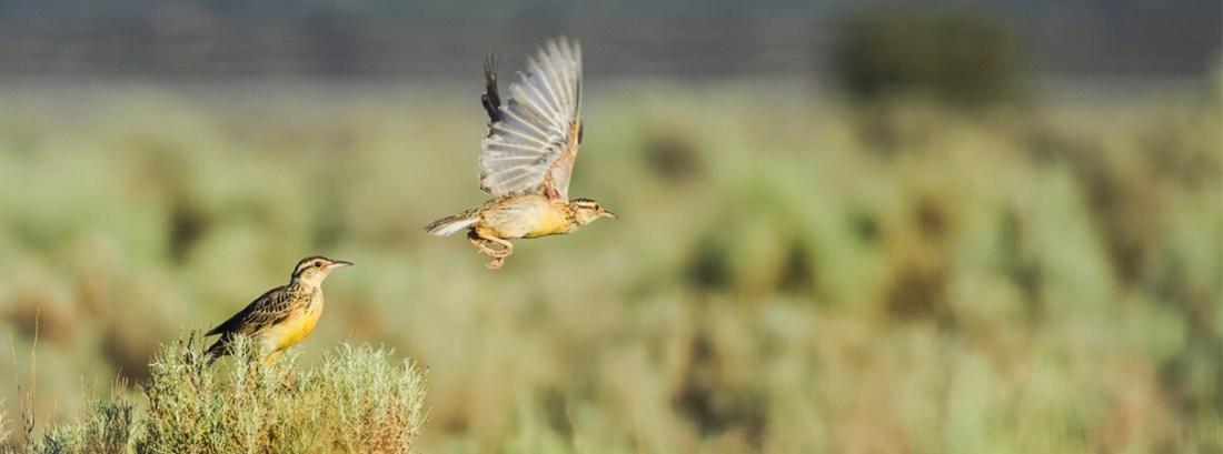 Western Meadowlarks, Maria Jeffs / Shutterstock