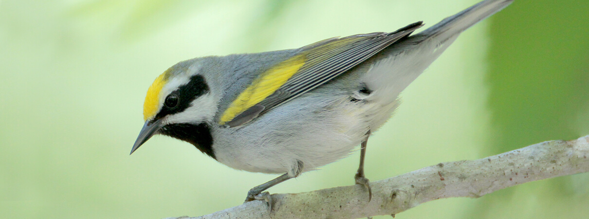 Minnesota's northern forests are home to nearly 50 percent of the world's Golden-winged Warbler population during the summer breeding season. Photo by Greg Lavaty