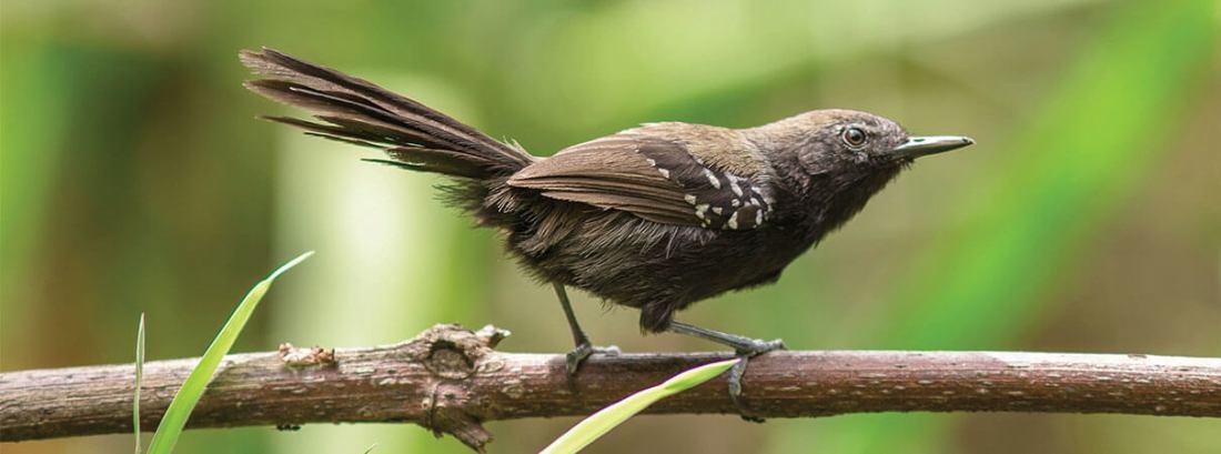 Los reyezuelos de los pantanos no parecen de la forma en que la mayoría imagina que son las aves tropicales.  Foto de Elvis Japão