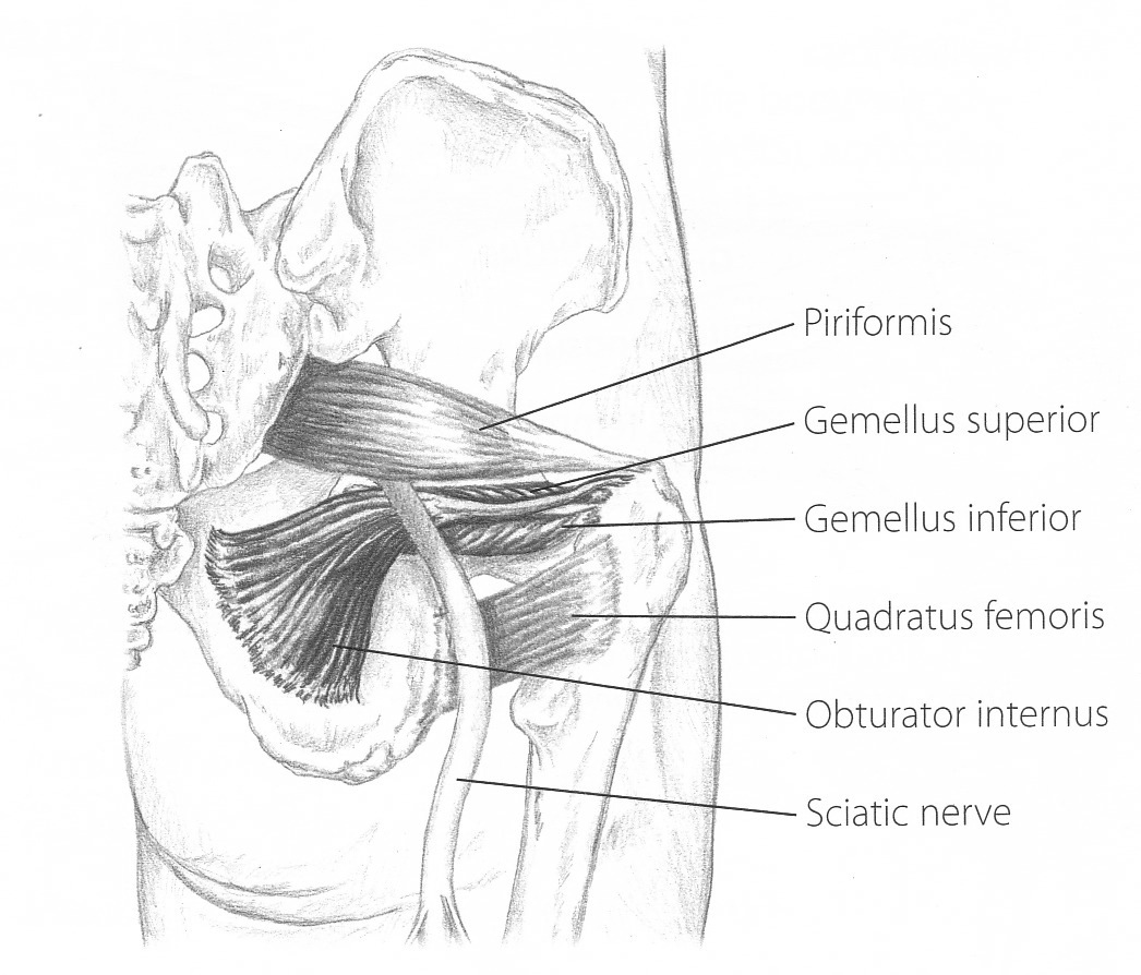 piriformis muscle lower back anatomy diagram