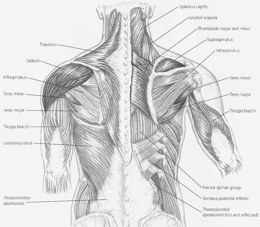 hight resolution of back muscles