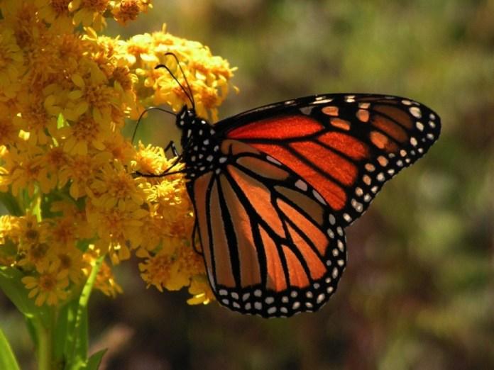 monarca-zihuatanejo-.jpg