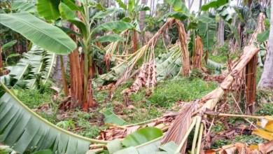 Photo of Cultivos enteros de plátano deja destrozados «Cristina» a su paso por municipio de Tecpan