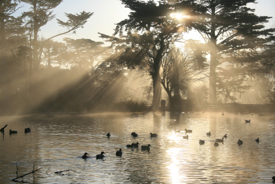Golden Gate Park pond with birds floating in the water and sunlight coming through the trees