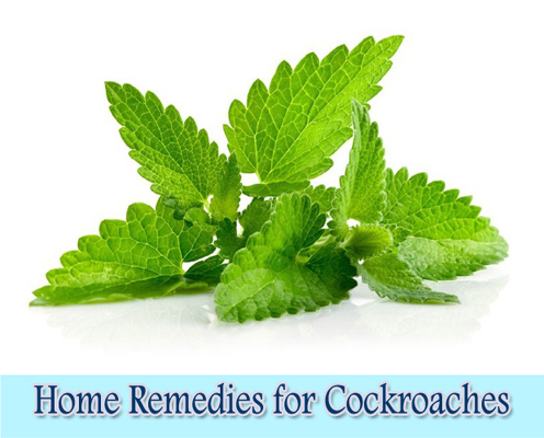 Mint : Home Remedies for Cockroaches
