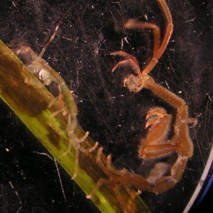 Caprella mutica