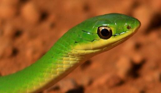 Saiba o que significa sonhar com cobra verde