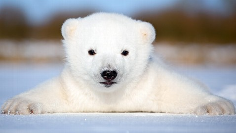 Cute Polar Bear Cubs Wallpaper Denmark S Adorable Baby Polar Bear Siku Will Not Be