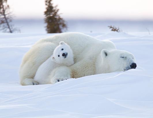 Cute Polar Bear Cubs Wallpaper Polar Bears Photos And Images Abc News