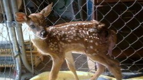 abc deer dm 130129 wblog Indiana Police Officer, Wife, Could Face Jail Time for Saving a Deer